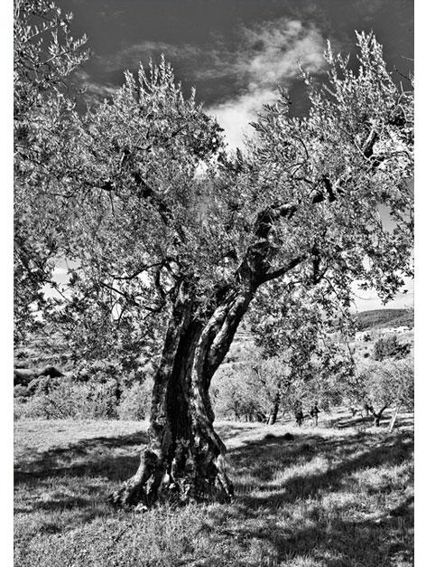 oliveb.jpg